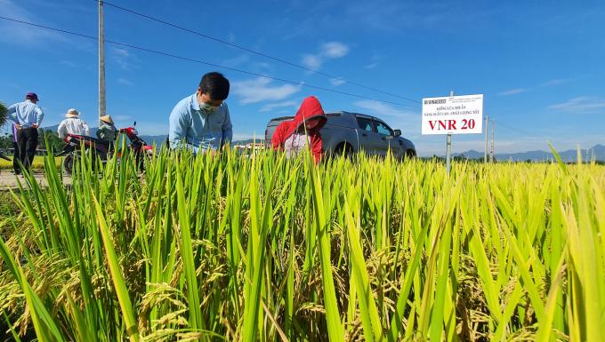 Lúa VNR20 sạch sâu bệnh, chống đổ ngã tốt và cho năng suất trên 70 tạ/ha trong vụ hè thu tại Quảng Ngãi. Ảnh: L.K.