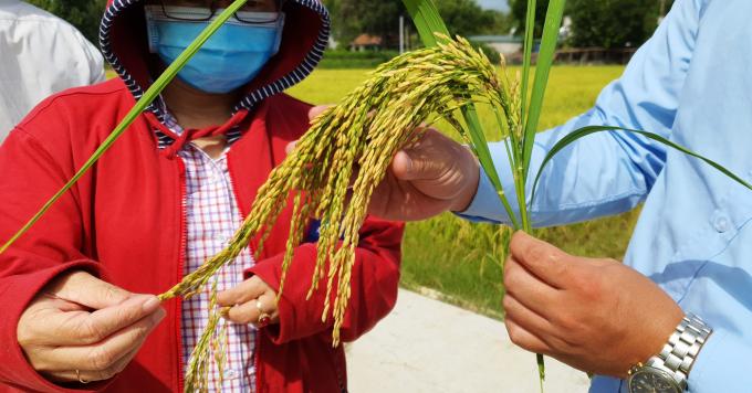 Giống lúa VNR88 tại Quảng Ngãi nổi bật với bông to dài, tỷ lệ hạt chắc cao, kháng sâu bệnh tốt. Ảnh: L.K.