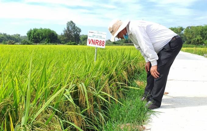 Ngành chức năng tỉnh Quảng Ngãi đánh giá cao 2 giống lúa VNR88 và VNR20 của Cty CP giống cây trồng Trung ương Quảng Nam. Ảnh: L.K.