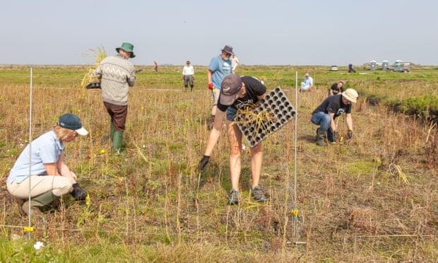 Nhóm nghiên cứu trồng thử nghiệm cây bồ hoàng, được sử dụng làm thức ăn gia súc, nhiên liệu hoặc vật liệu xây dựng. Ảnh: Great Fen.