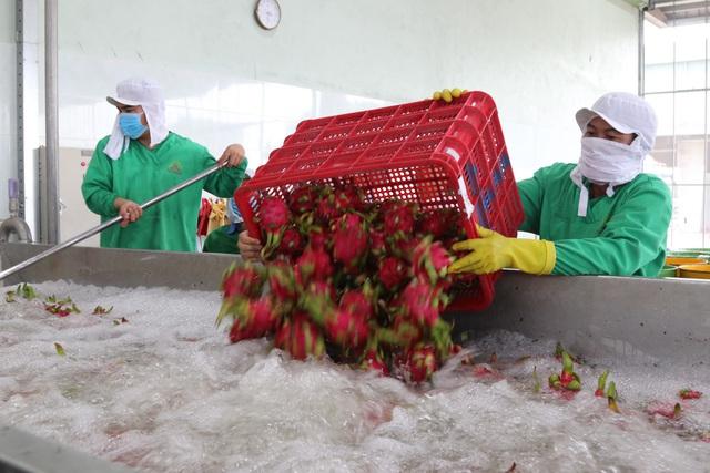 Xuất khẩu thanh long đình trệ, Bộ trưởng Nông nghiệp về địa phương giải cứu - 2