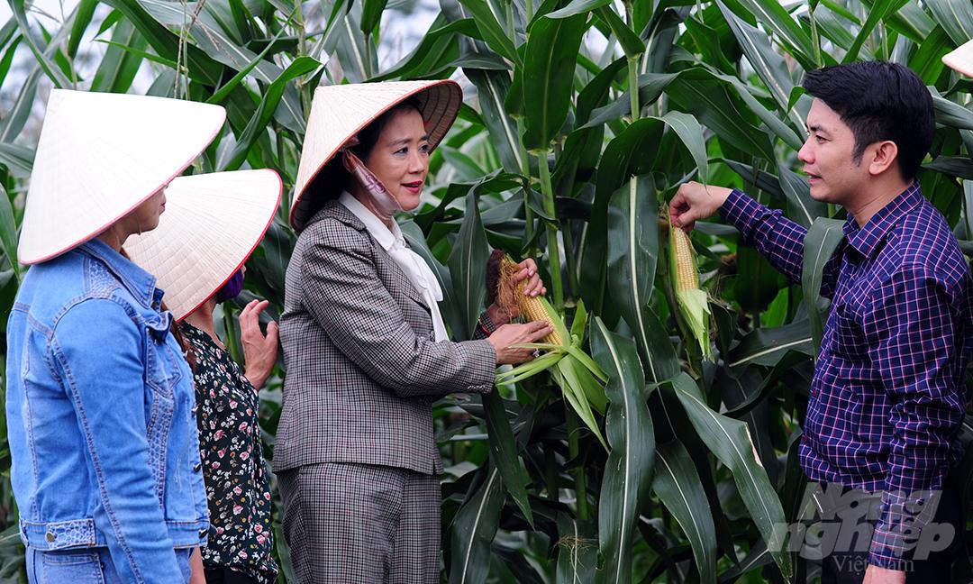 Sau tọa đàm, bà Hạ Thúy Hạnh và Giám đốc Trung tâm Khuyến nông Vĩnh Phúc, Nguyễn Hoàng Dương tới thăm ruộng tại mô hình trồng ngô sinh khối làm nguyên liệu chế biến thức ăn chăn nuôi. Nông dân ở đây cho biết, ngô tại cánh đồng này vẫn ngậm sữa. Lá gốc chưa ngả vàng. Do đó, bà con dự kiến thu hoạch trong khoảng từ 7 đến 10 ngày nữa.