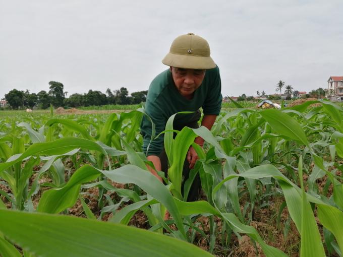 Việc vực dậy sản xuất ngô sinh khối vụ đông 2020 - 2021 đã có sự vào cuộc sát sao của hệ thống khuyến nông. Ảnh: Trung Quân
