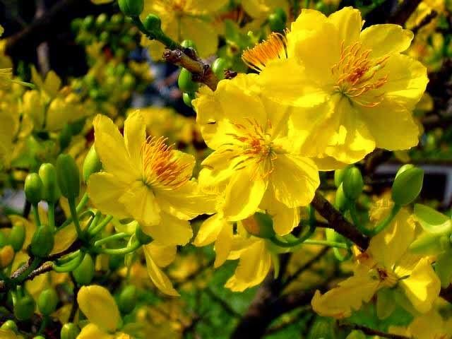 Kỹ thuật trồng và chăm sóc hoa mai nở đúng dịp Tết Đinh Mậu - ảnh 5