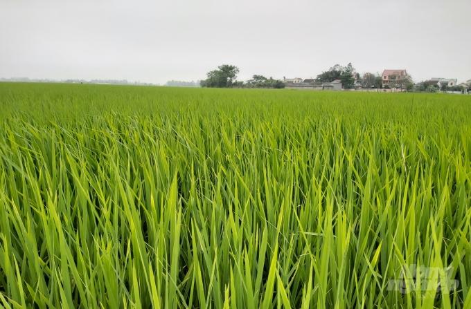 Hưng Nguyên là huyện có diện tích lúa nhiễm đạo ôn lớn nhất tỉnh. Ảnh: Việt Khánh.